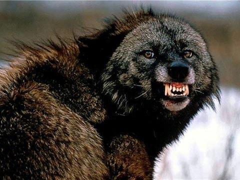 piterskiy. добавления новостей красивую подборку волков